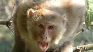 बंदर मदिरापान कर हुआ मदमस्त, लोगों की आई शामत