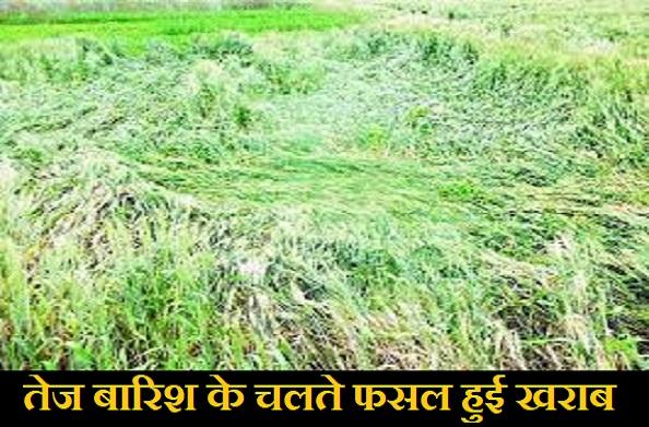 खटीमा: बारिश होने की वजह से फसल हुई खराब