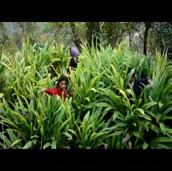 रुद्रप्रयाग: इलायची की खेती बनी रोजगार का नया जरिया