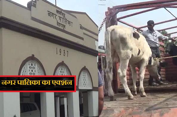देहरादून: सड़कों पर आवारा घूम रहे हैं पशु, नगर निगम का एक्शन
