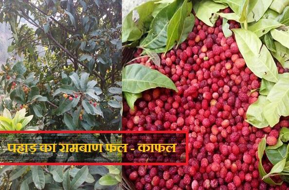 काफलः पहाड़ का वो फल जो पेड़ से लेकर फल तक बेहद फायदेमंद है..