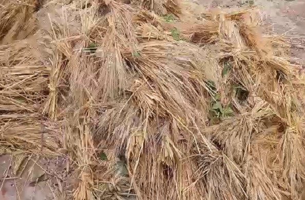 पिथौरागढ़: बारिश से खराब हुई किसानों की फसल… पढ़ें पूरी खबर…