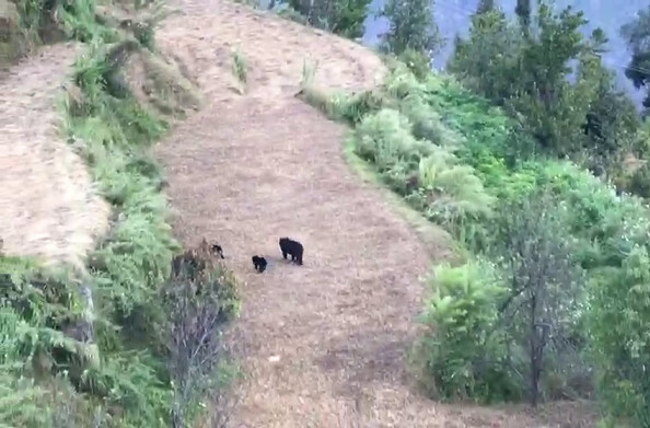जोशीमठ: ग्रामीण क्षेत्रों में भालू से दहशत, लोगों ने मोबाइल में कैद की भालू की तस्वीरें