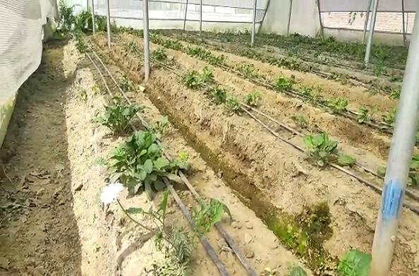 हल्द्वानीः पहले लाॅकडाउन अब मौसम परिवर्तन से फूलों की खेती को बड़ा नुकसान
