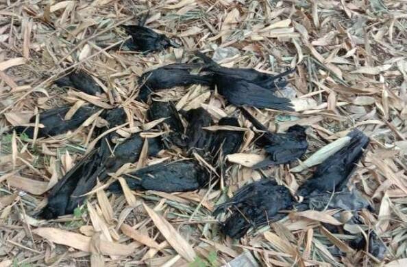 राजस्थान में बर्ड फ्लू से दहशत, अब तक 200 के करीब कौवे मरकर जमीन पर गिरे
