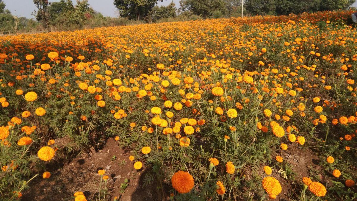 रामनगर का कमोला गांव महक रहा किसान बलवीर सिंह की फूलों की खेती से