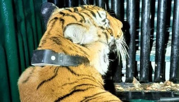 घायल बाघ को किया रानीबाग रेस्क्यू सेंटर से कॉर्बेट में शिफ्ट