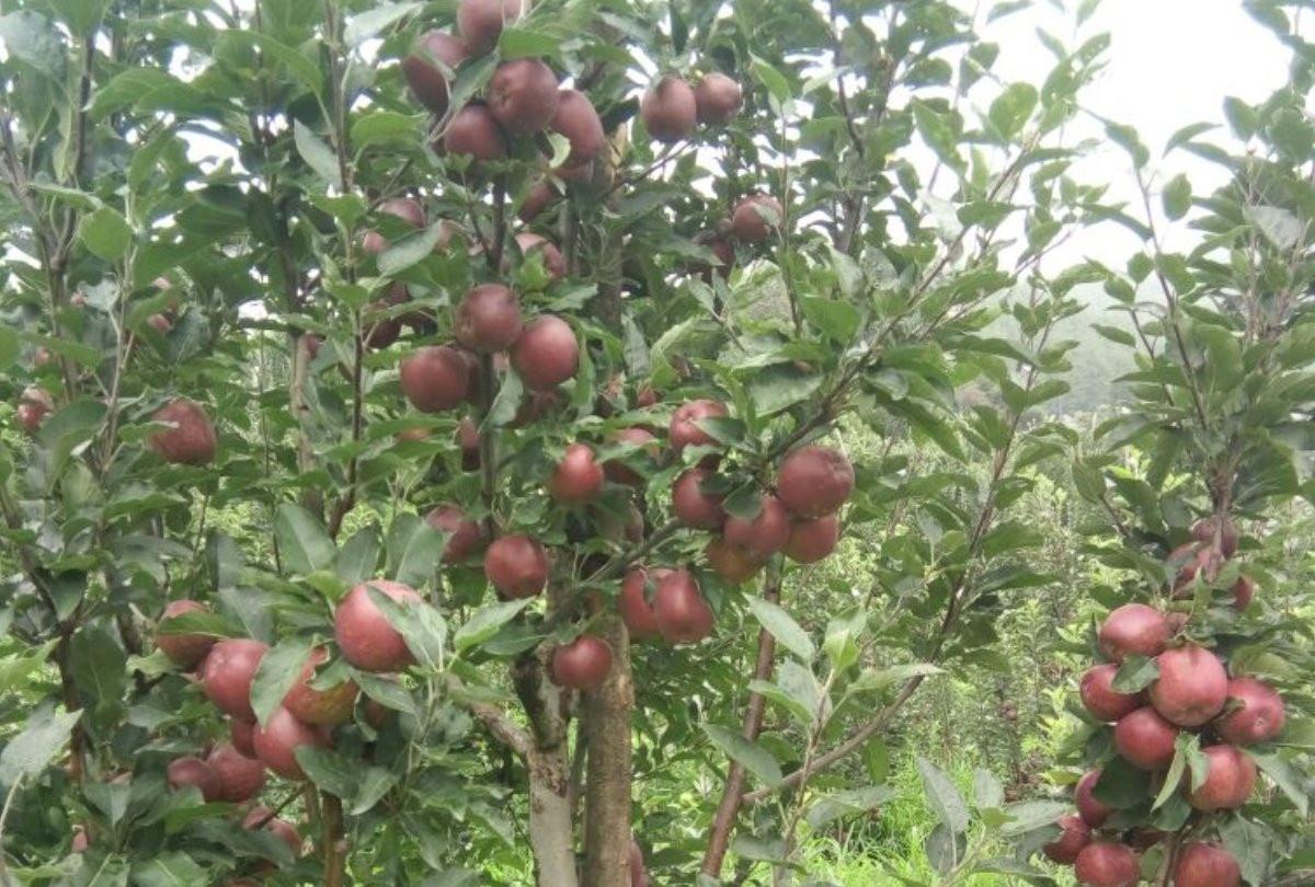 प्रदेश को मिलेगा बागवानी क्षेत्र में पहला सेंटर ऑफएक्सीलेंस, अल्मोड़ा जिले के चौबटिया में बनकर होगा तैयार