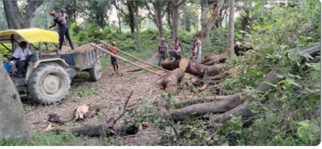 रायबरेली- बेखौफ वन माफिया प्रतिबंधित हरे पेंडों पर जमकर चला रहे हैं आरी