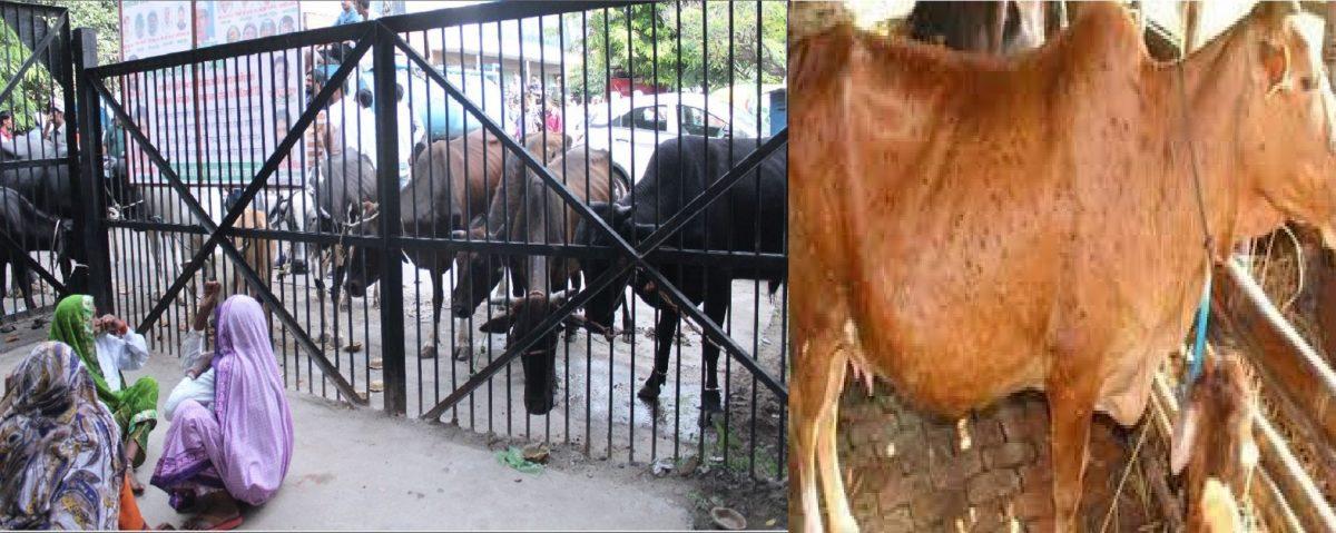 काशीपुर : उत्तराखंड में मिला एलएसडी वायरस का पहला मामला, चार गायों की रिपोर्ट पॉजिटिव