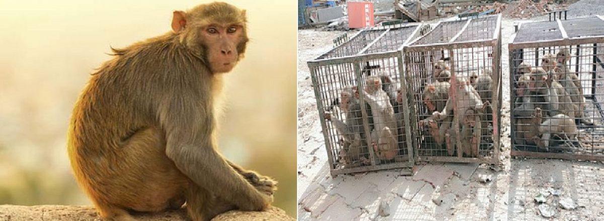 मथुरा में बंदरों के आतंक से परेशान है लोग ,अब नगर निगम ने की बंदर पकड़ो अभियान की शुरूआत